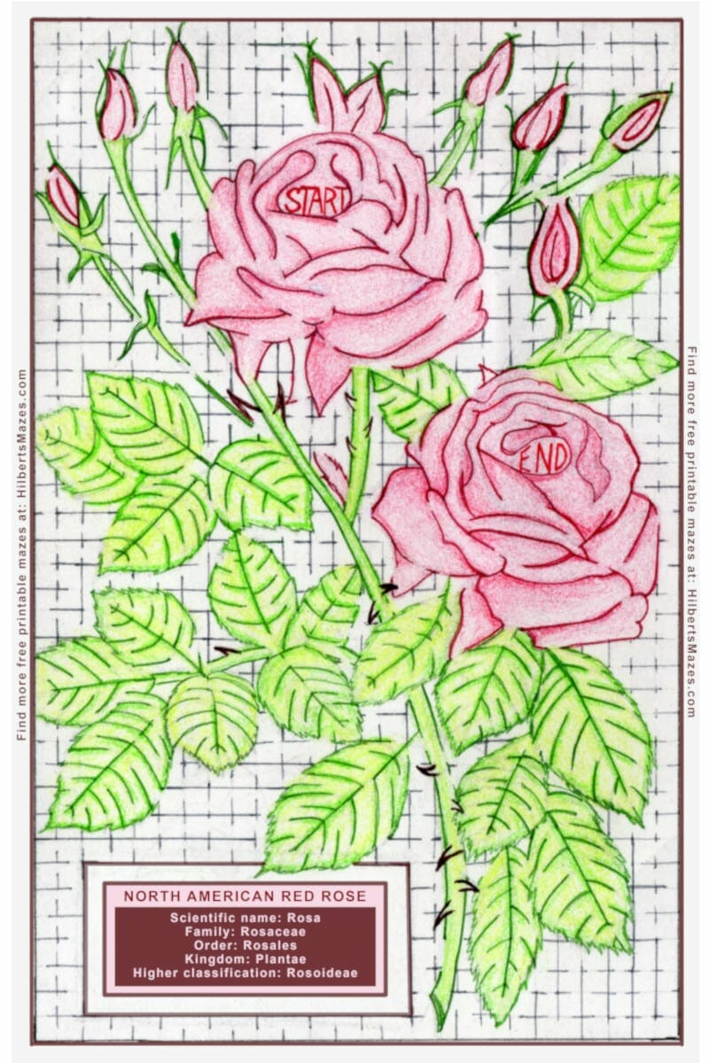 image about Printable Rose titled Hand Drawn Rose Valentine Maze - Cost-free Printable PDF